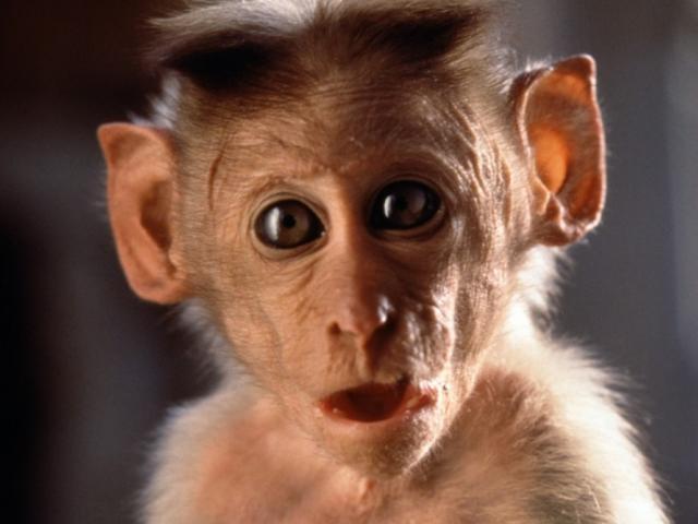 majom nézete)