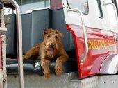 Tűzoltó kutya